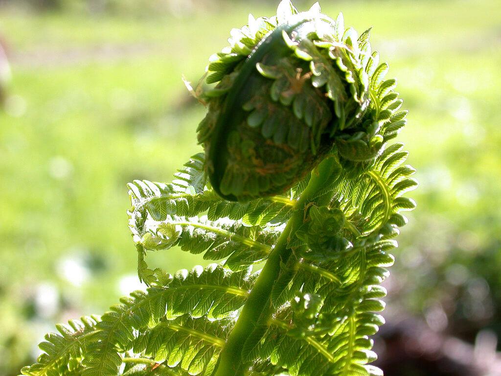 Farn, eine beliebte Zierpflanze